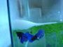 10 tips for a successful reproduction of Betta Splendens