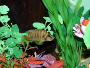 Introduction to African cichlids with a list and profiles of the most popular species