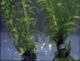 How to grow Anacharis - Egeria densa in aquariums