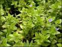 A guide on growing Bacopa plants in aquariums