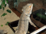 Bearded Dragon (Pogona vitticeps) - Care, Pictures and Breeding
