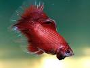 How to care for Betta Fish with Forum
