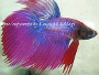 How to care for Siamese fighting fish, images and discussion
