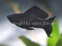 How to care for the Black Molly including breeding and discussion