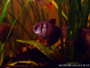 Pictures of the Black Skirt Tetra with Discussion