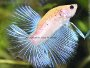 An article and forum on breeding Betta fish and caring for fry