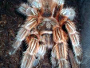 A guide on caring for Chilean Rose Tarantula - Grammostola rosea