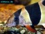 How to care for Clown loaches