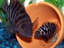 How to care for Convict Cichlids with pictures and forum