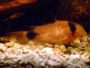 Guide and forum on keeping the Corydoras species