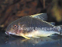Raising and Breeding Corydoras gossei