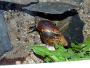 Housing Achatina fulica - East African land snail