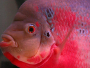 The Flowerhorn fish
