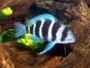 An article devoted to keepers of Frontosa cichlids with pictures and forum