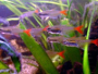 A forum and guide on raising Glass bloodfin tetras
