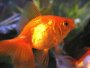 A page and forum about caring for Goldfish in aquariums and ponds