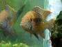A guide on keeping and breeding Green terror cichlids
