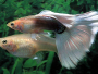 The Guppy Fish - A guide and forum on breeding and care