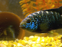 How to care for Jack Dempsey Cichlids properly