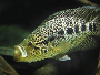 An article and forum on keeping Jaguar cichlids, their breeding and feeding habits