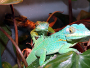 Knight Anole - Anolis equestris Care and Pictures