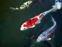 An article and forum about keeping Koi carps