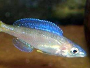 A guide on caring for and breeding cichlids from Lake Tanganyika