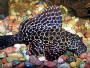 An article and discussion on keeping Marble pleco