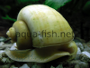 Mystery, apple snail