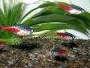 Article and forum on caring for Neon tetras including diet and breeding tips