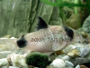 Breeding and feeding Corydoras Panda with forum
