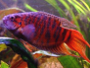 Facts and care of Paradise Fish with forums