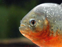 Piranhas as aquarium fish - Care, diet, answers and forum