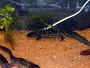 Pleurodeles Waltl (Ribbed Newt) - Housing and caring