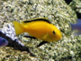 Electric yellow cichlid - Labidochromis caeruleus
