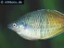 Proper Care of Rainbowfish with Feeding and Breeding