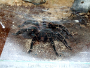 Housing and caring for Salmon Pink Tarantula's