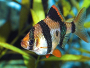 How to keep and breed Barbus Tetrazona (The Tiger Barb)