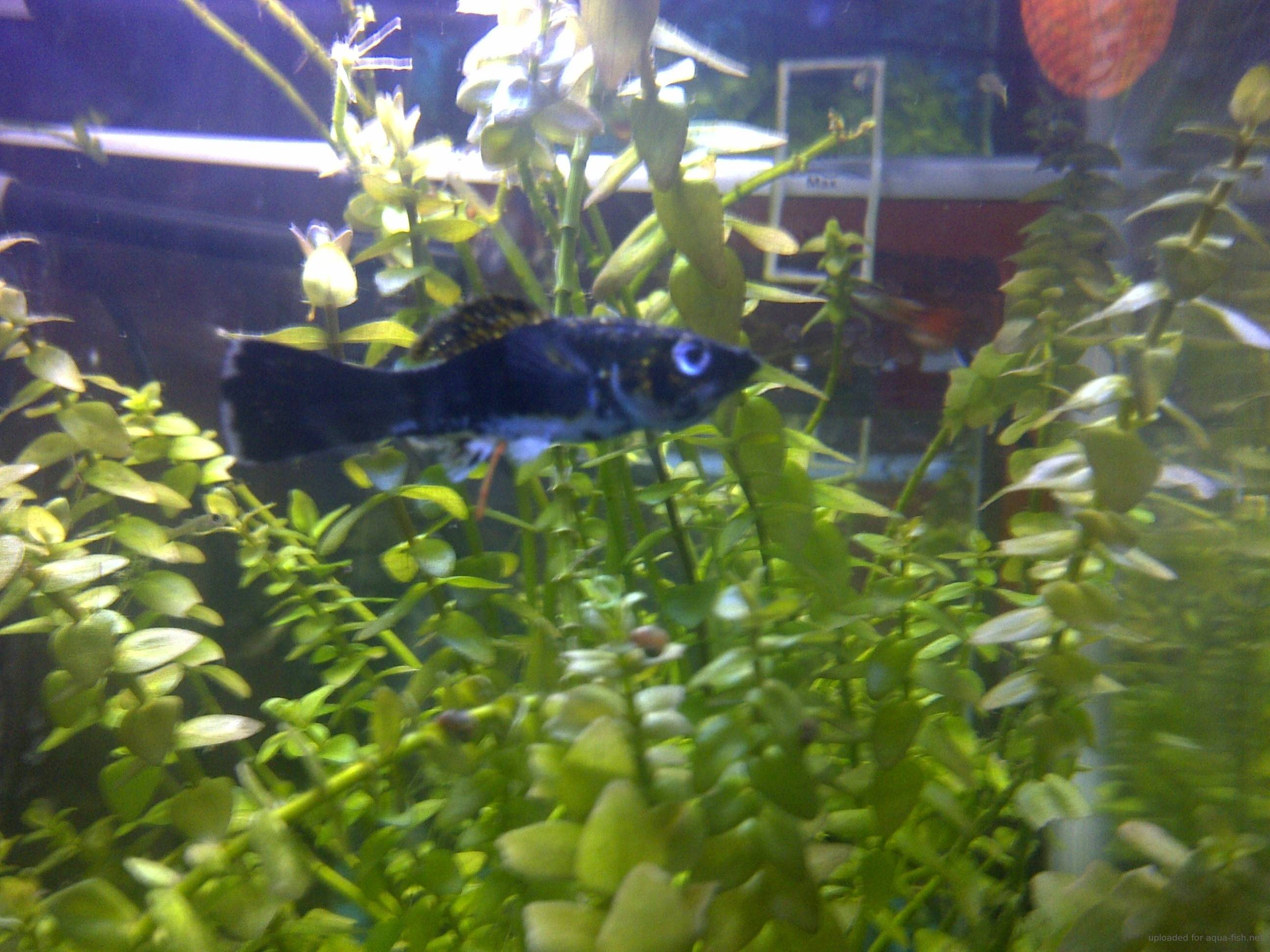 How to care for the black molly including breeding and for Black fish eggs