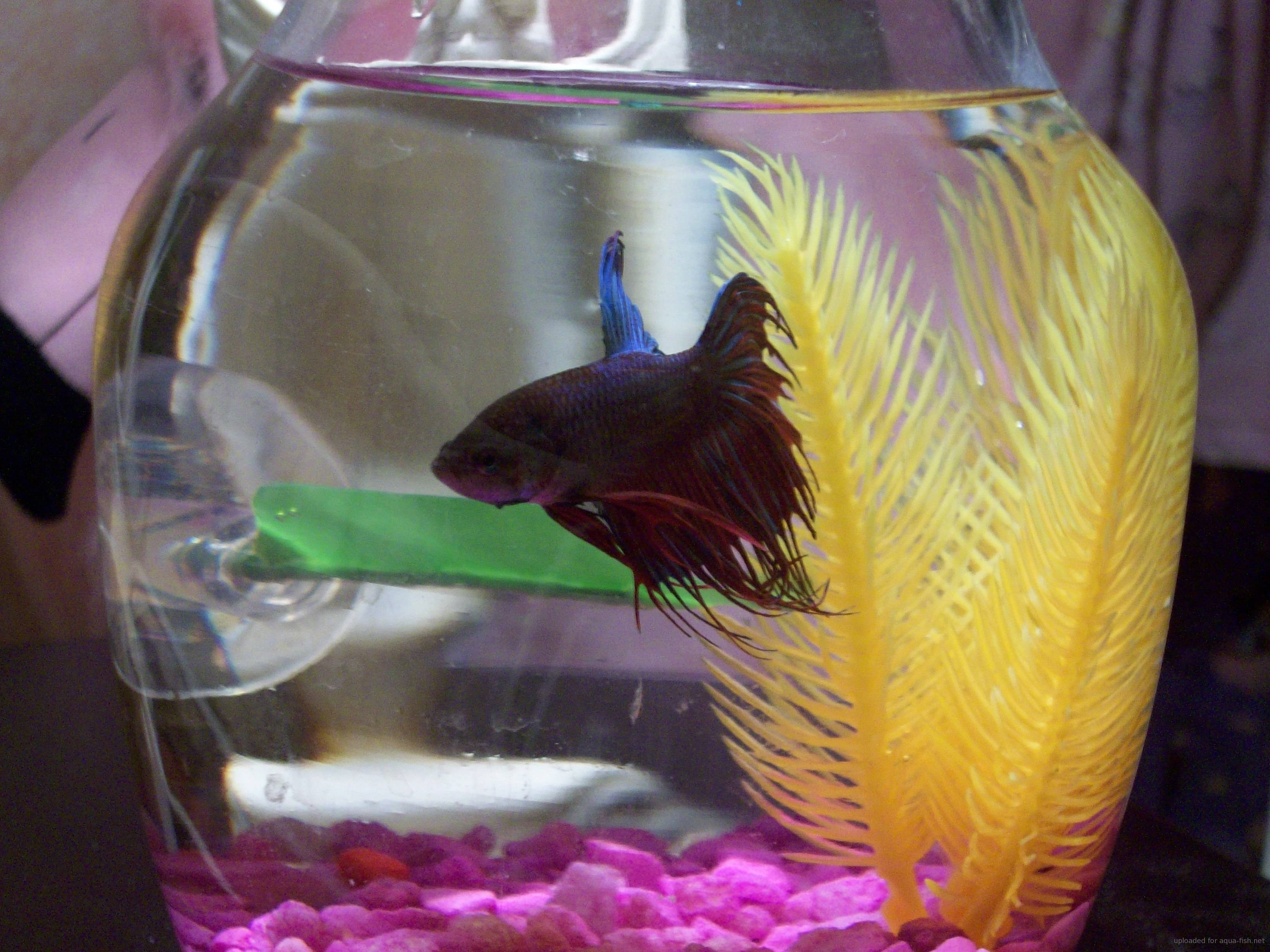 how to take care of fighting fish