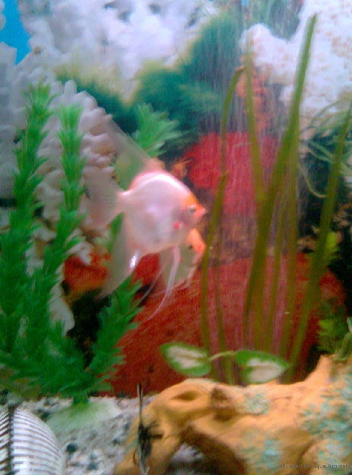 Angelfish – Care Guide, Diet, Tank Setup, Breeding, Tank mates