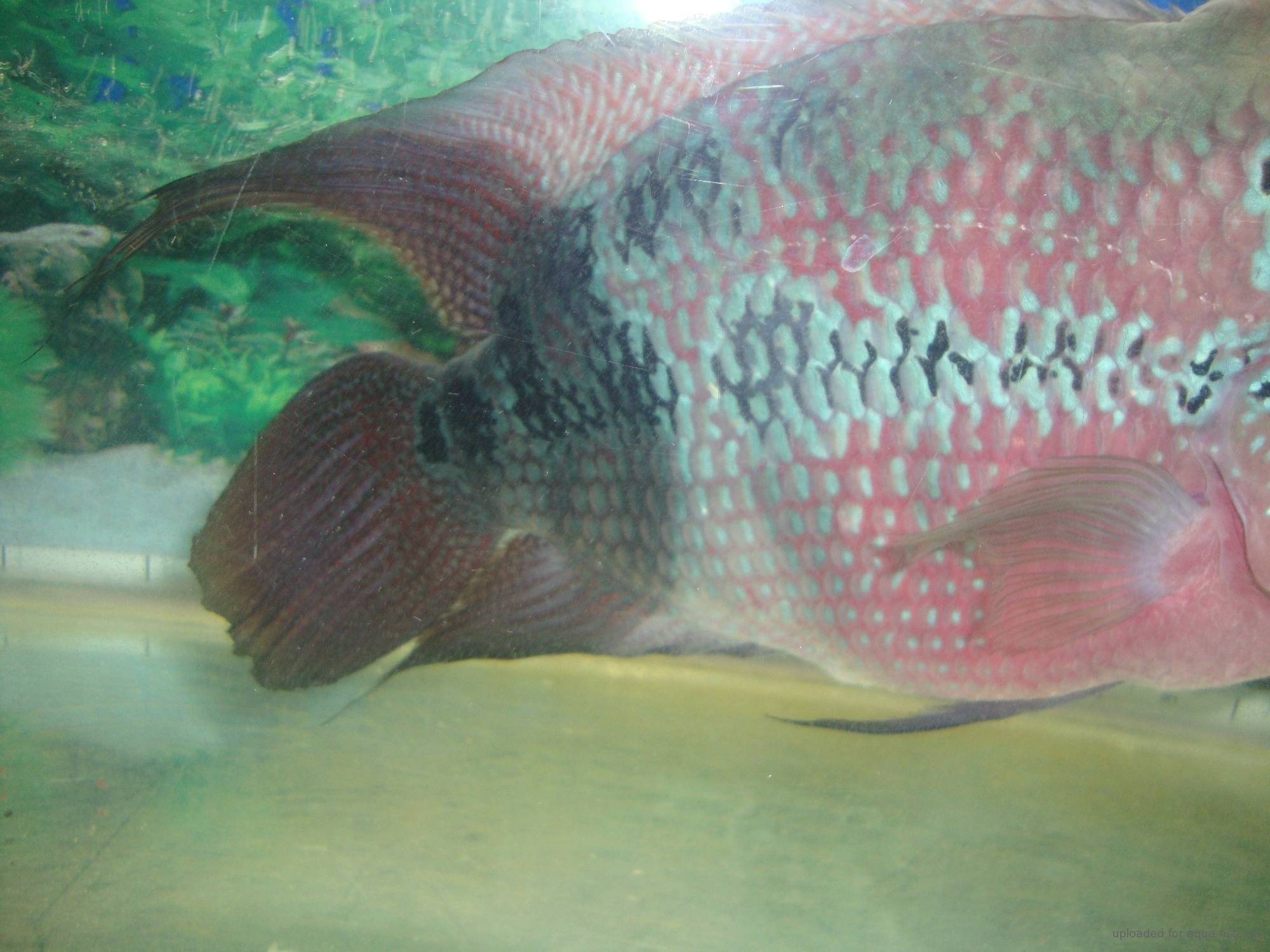 How to care for the flowerhorn fish with discussion for Fish breeding net