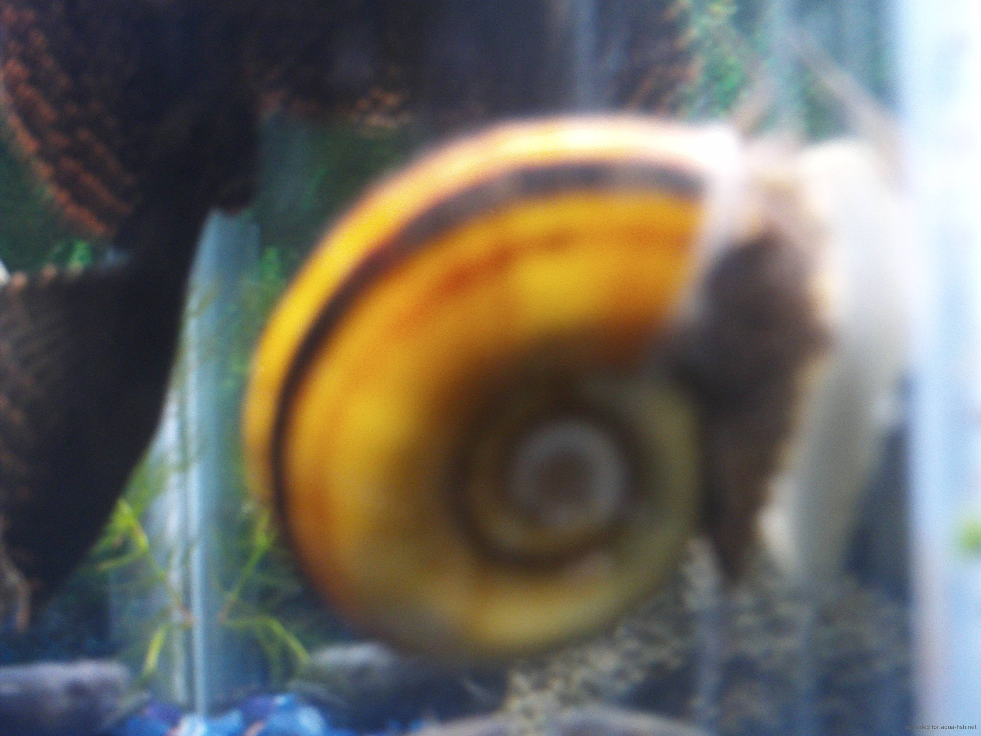 Freshwater aquarium fish eat snails - Types Of Aquarium Snails With Answers And Forum