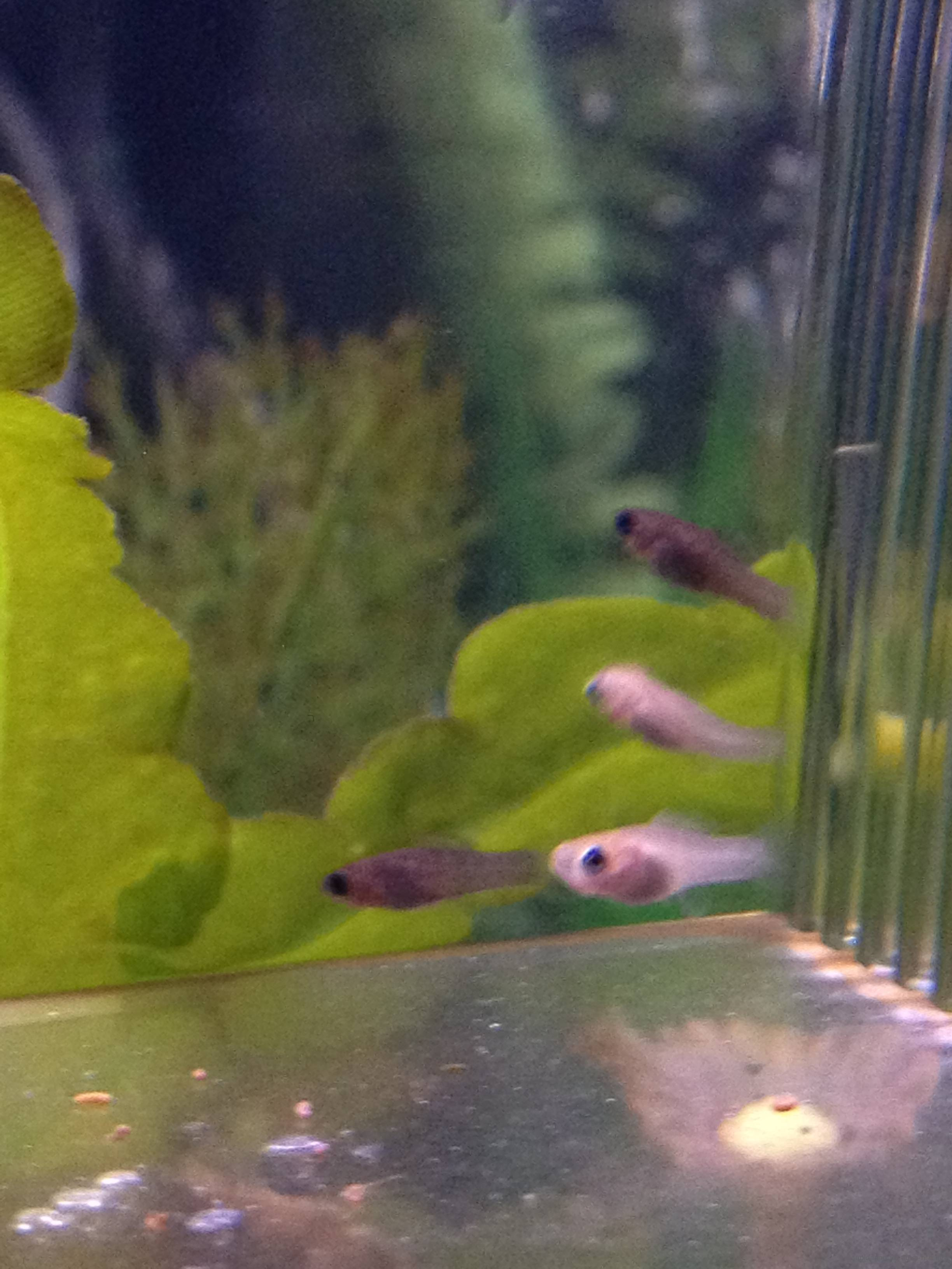 Pregnant black mollies for Molly fish babies