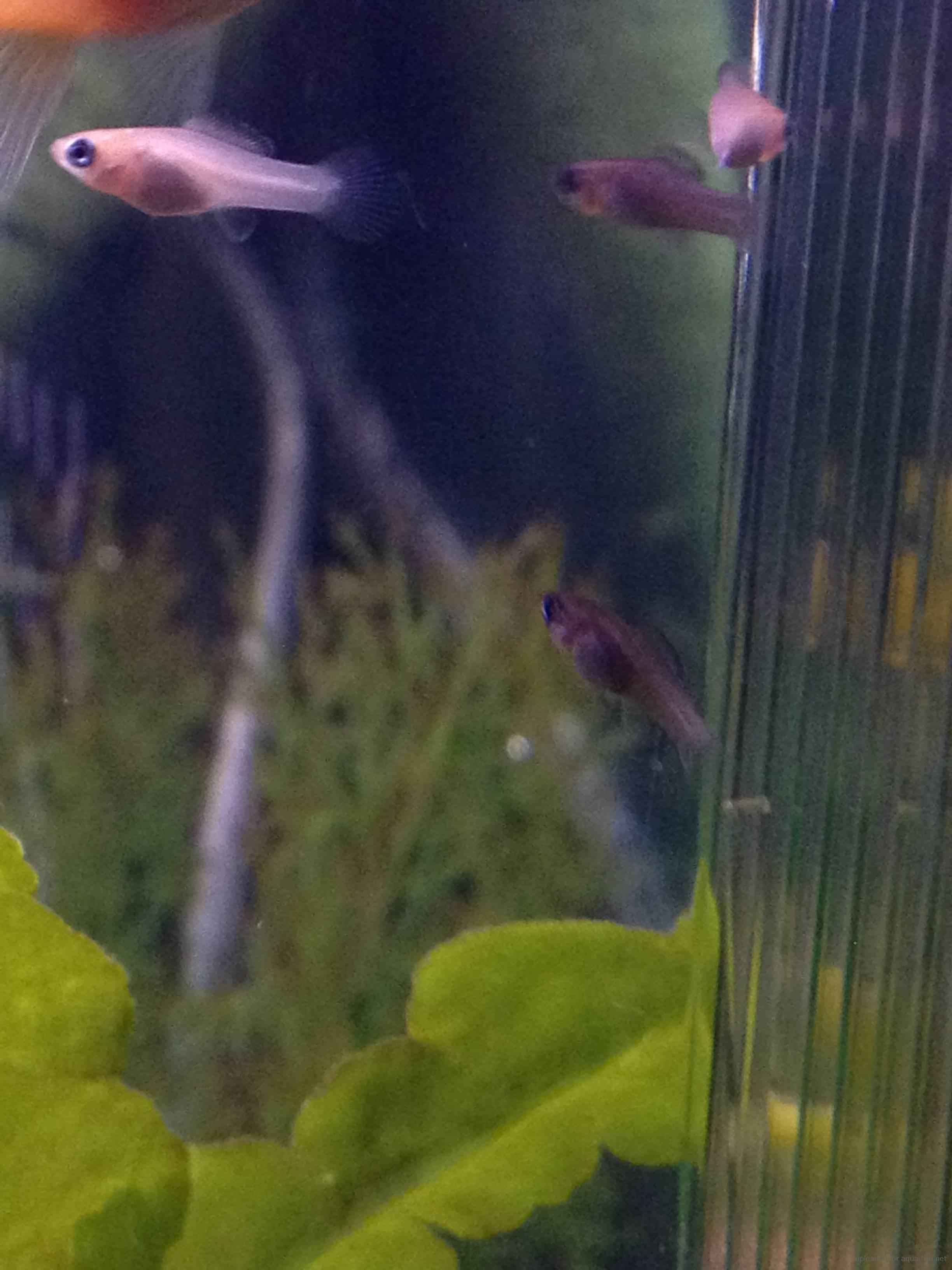 Black molly fish breeding for Molly fish babies