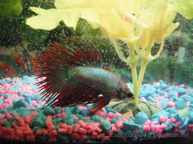 Types of algae and the best algae eaters for fish tanks for Poisson rouge aquarium 20l
