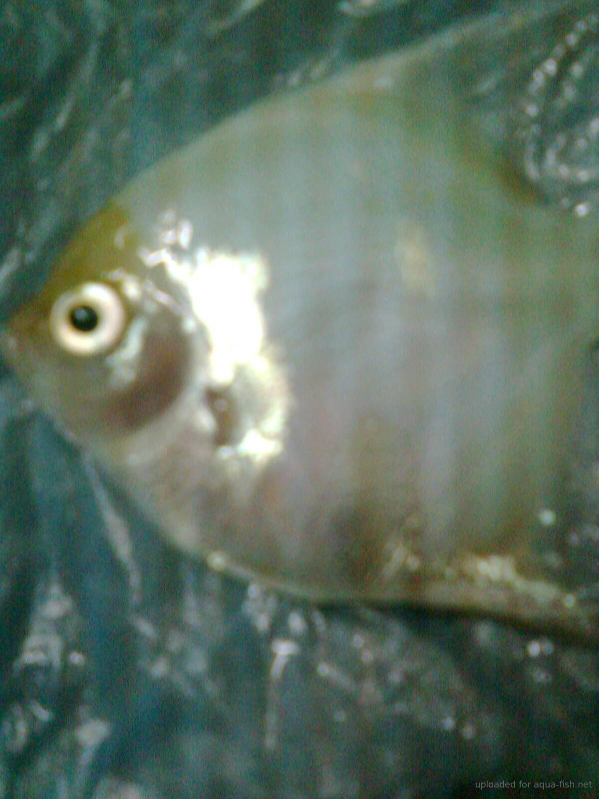 Diet for Queen Angelfish