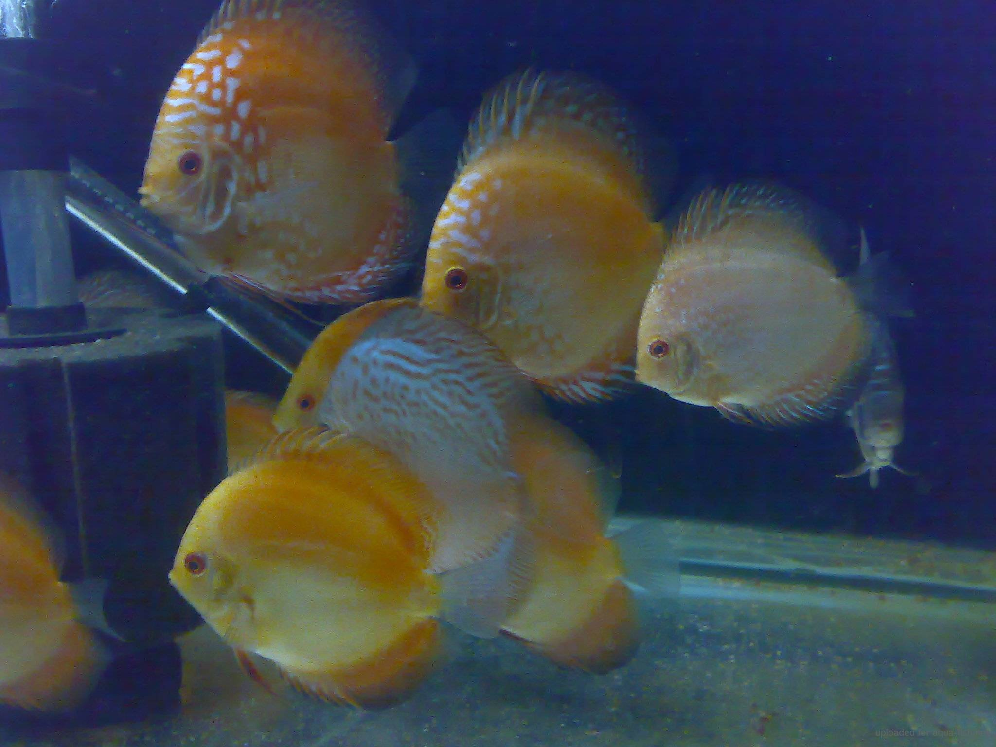 Advice on raising and breeding discus fish with forums for Fish breeding net