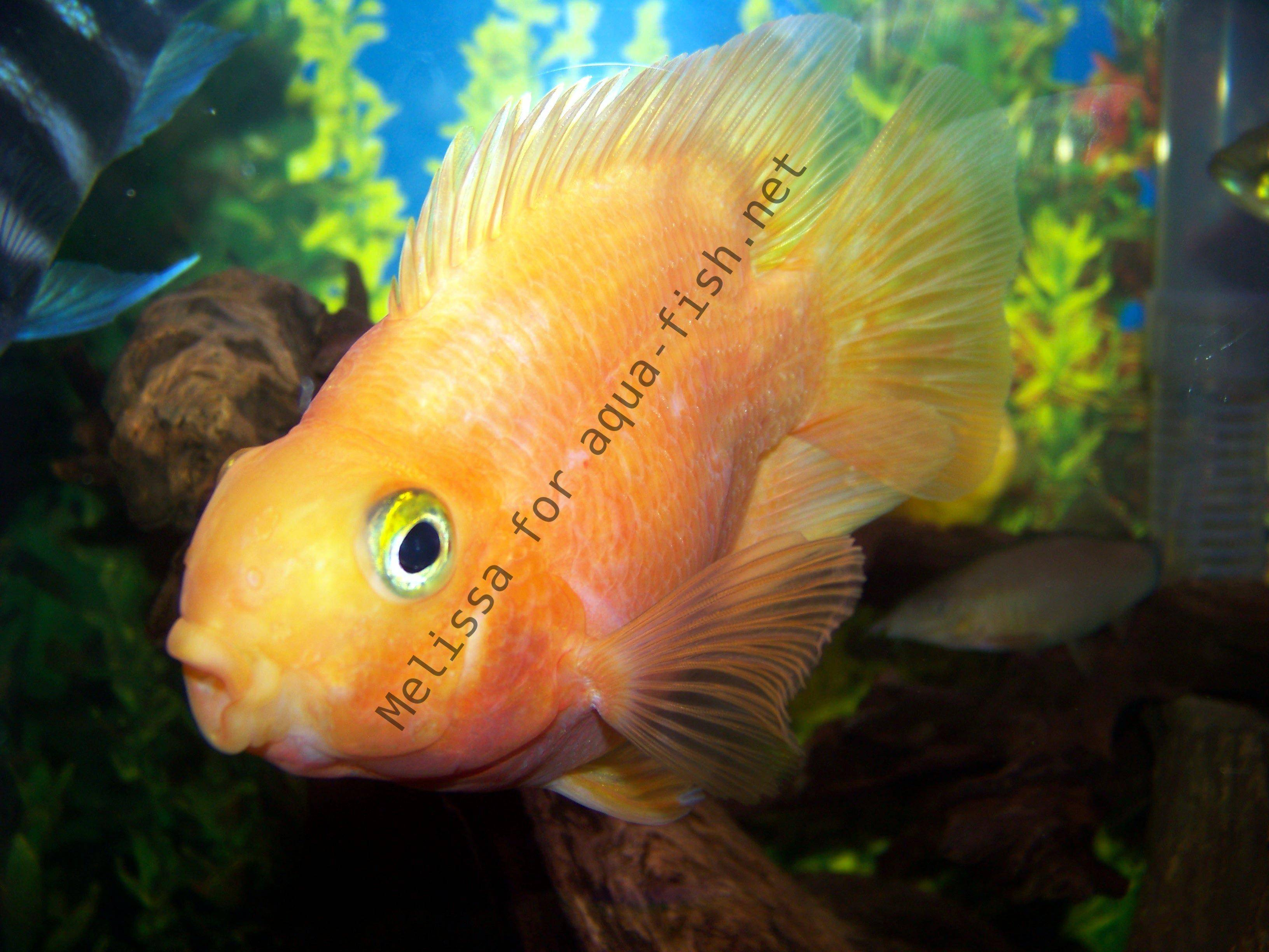 The parrot cichlid caring for varieties and forums for Blood parrot fish