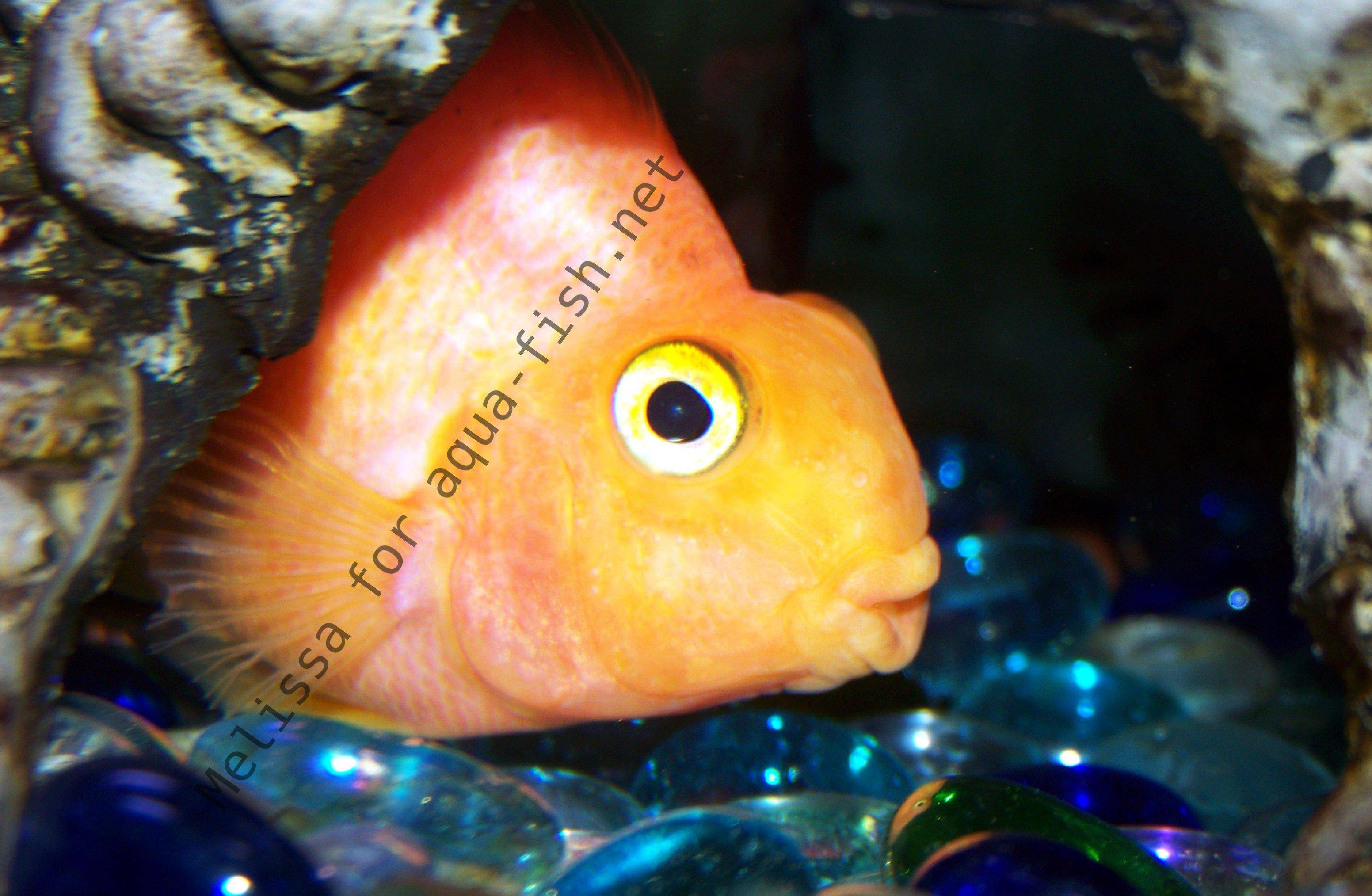 The Parrot Cichlid Caring For Varieties And Forums
